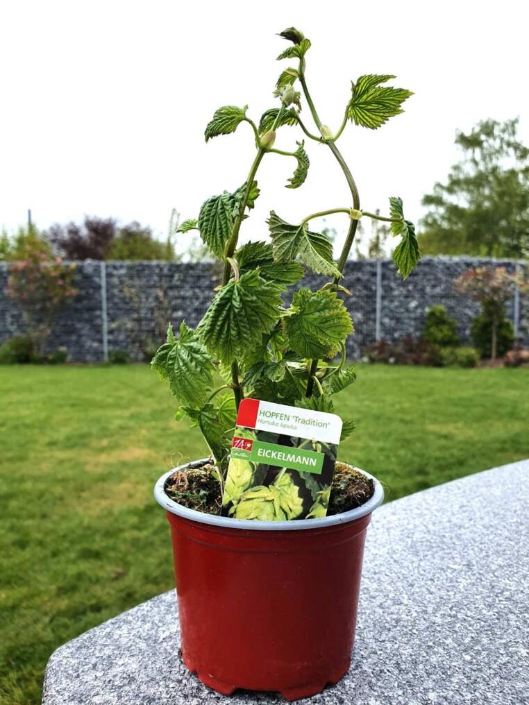 Hopfenpflanze anbauen kaufen